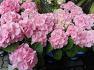 일요일꽃배달 수국꽃바구니 수국꽃다발 블루수국 백수국 핑크수국 포함한 혼합꽃다발이요 상봉역꽃집 청송화원