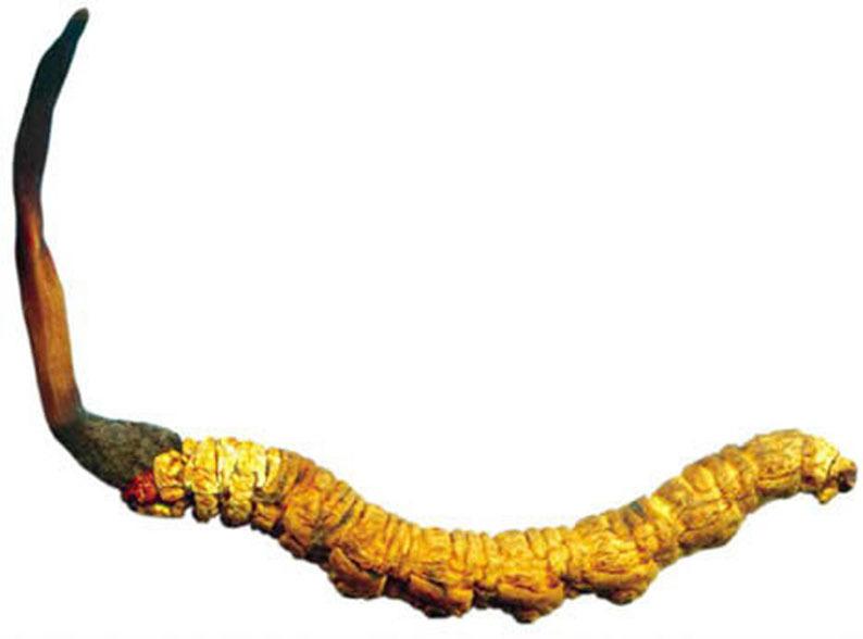 동충하초(冬蟲夏草) 시장현황