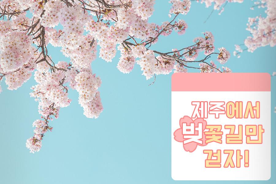 제주도 벚꽃 명소 모음 / 제주도 벚꽃 여행가자