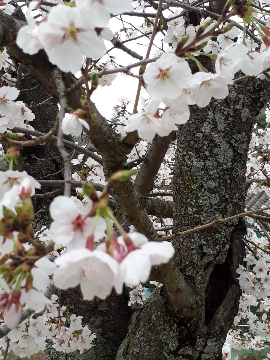 2019 선운사의 봄